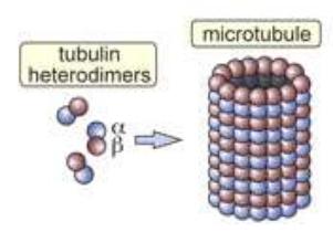 Microtubule 2011